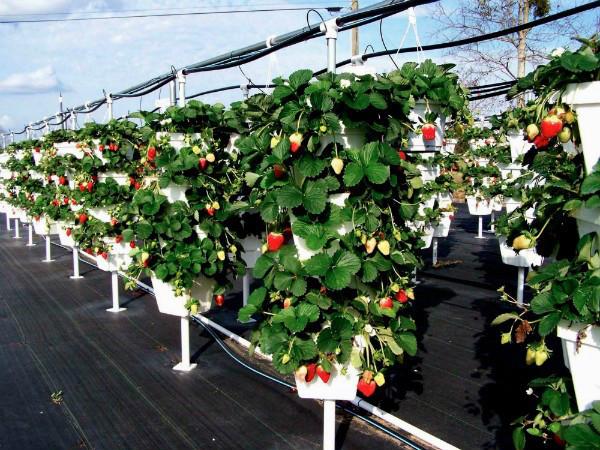 Способы выращивания клубники круглый год 70