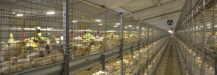 Бройлеры бизнес-план на выращивание 100 курей