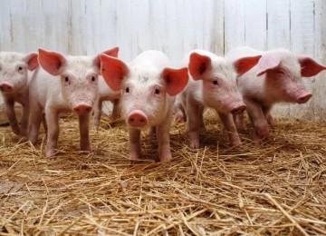 Открытие свинофермы: бизнес-план на 100 голов