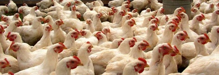 Бизнес-план птицефермы: как организовать мини-фабрику на 200 кур