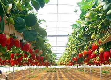 Бизнес план по выращиванию клубники: организация прибыльного процесса