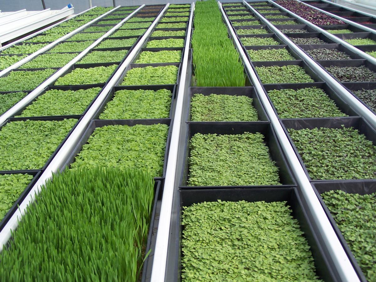 Выращивание зелени в теплице или открытом грунте как бизнес