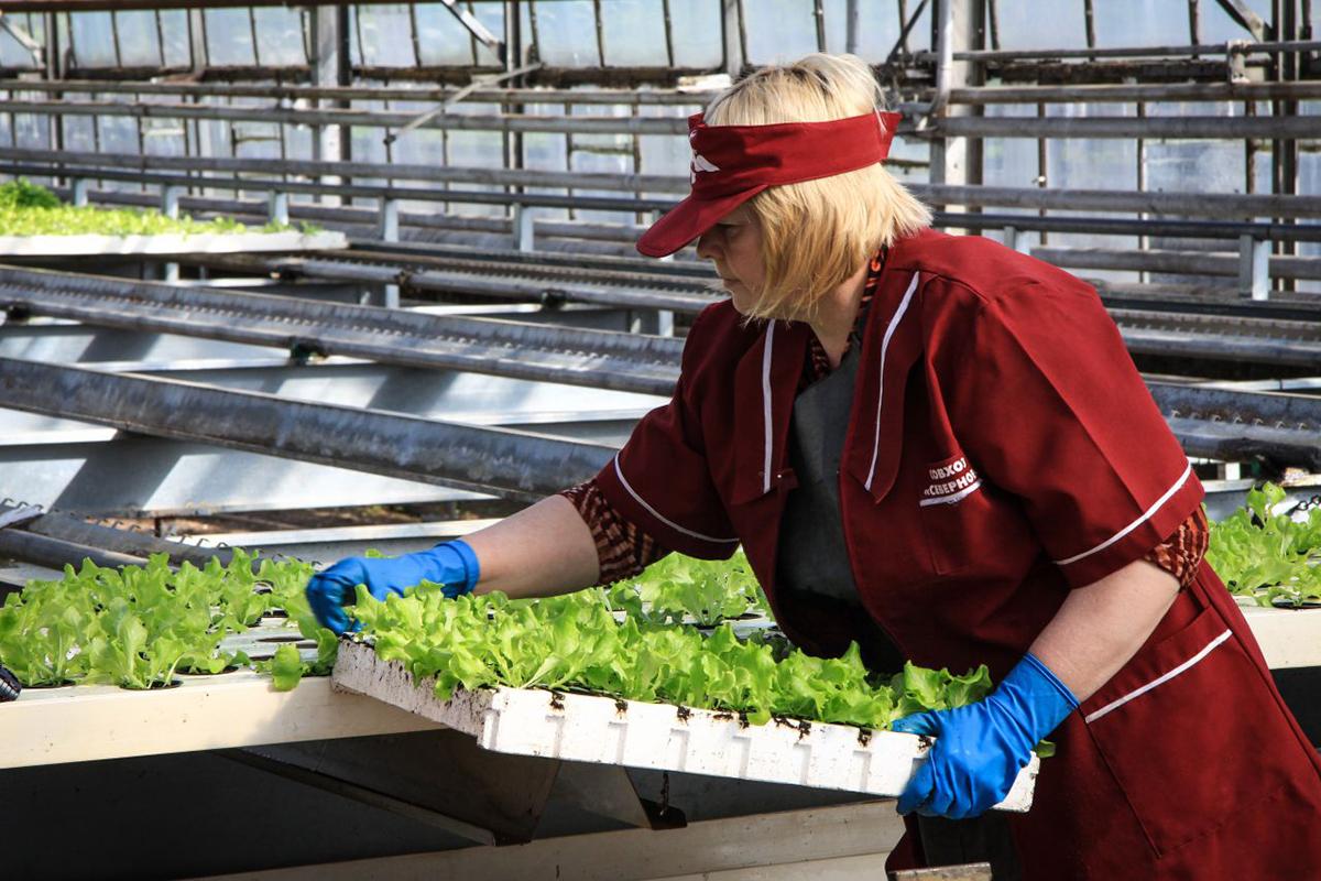 Изображение - Выращивание укропа и петрушки как бизнес vyrashhivanie-zeleni-kak-biznes4