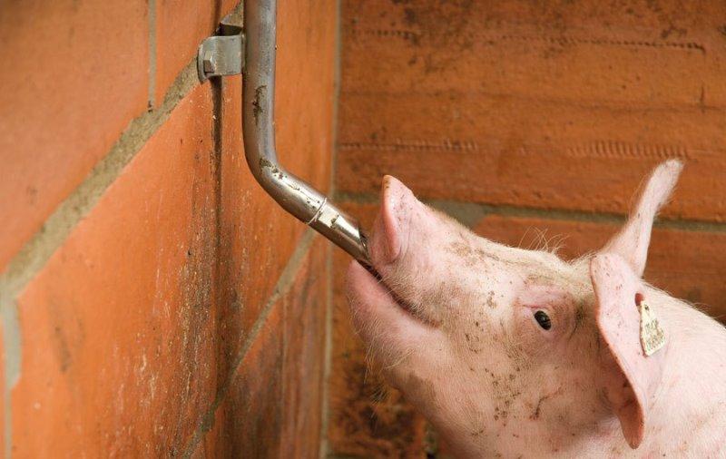 Примерный бизнес план свинофермы бензовоз бизнес идея
