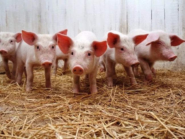 Открытие свинофермы бизнес план идея бизнеса коммерческой организации